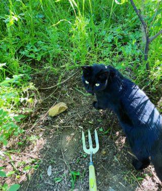Evening weeding. My supervisor has been monitoring me closely. Assessment not yet in.  #ihateweeds #gardening #catlife #catsofinstagram #catstagram